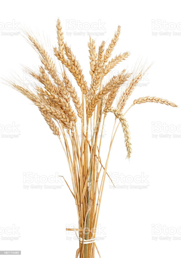 Wheat gold on a white background stock photo