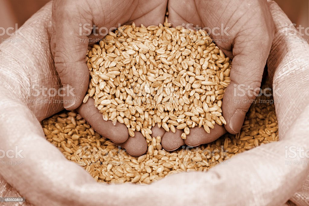 Wheat Grain in Human Hands royalty-free stock photo