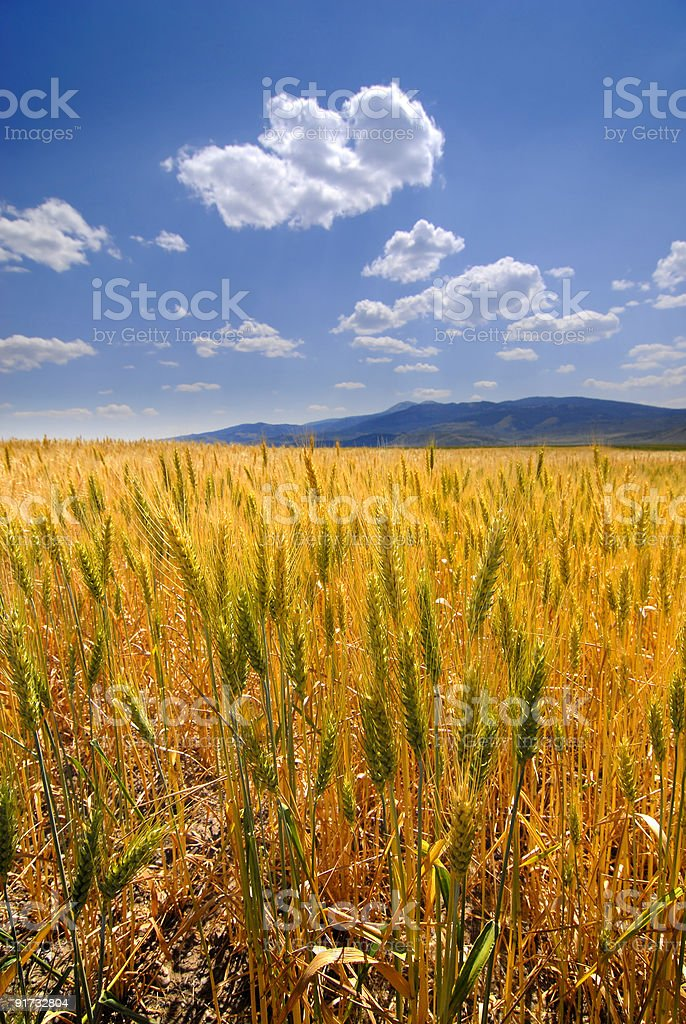 Wheat grain with field in background royalty-free stock photo