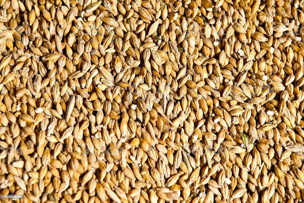 Wheat grains close up stock photo