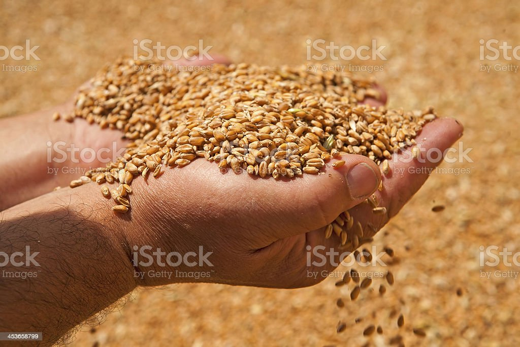 Wheat grains in hands stock photo