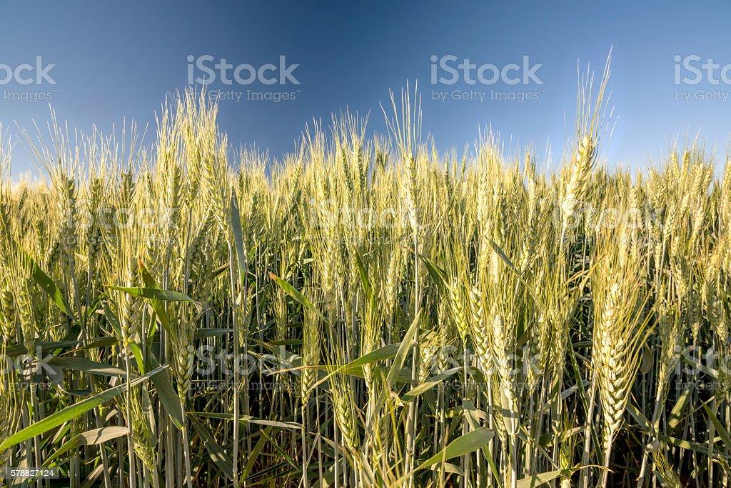 Wheat grains still on the stalk stock photo