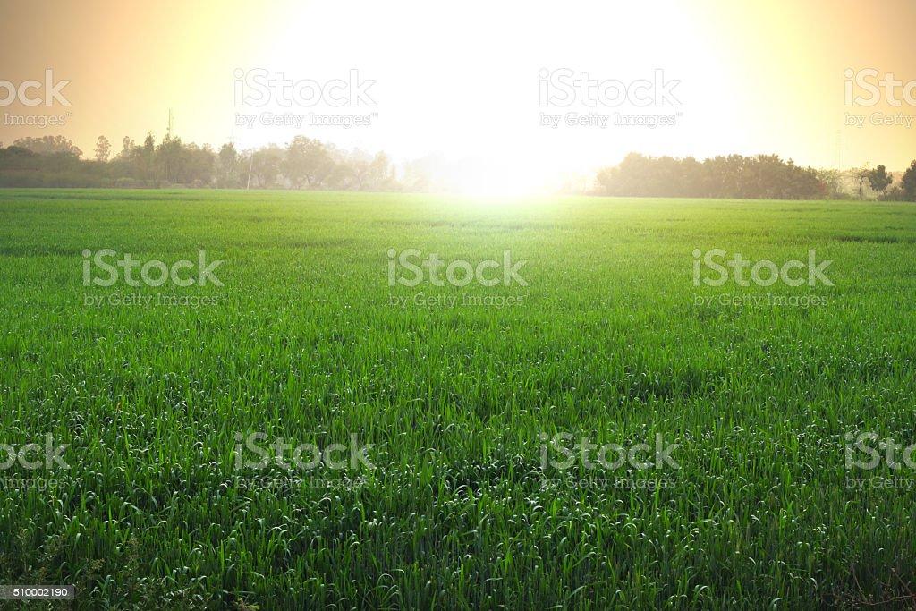 Wheat grass And Sunrise stock photo