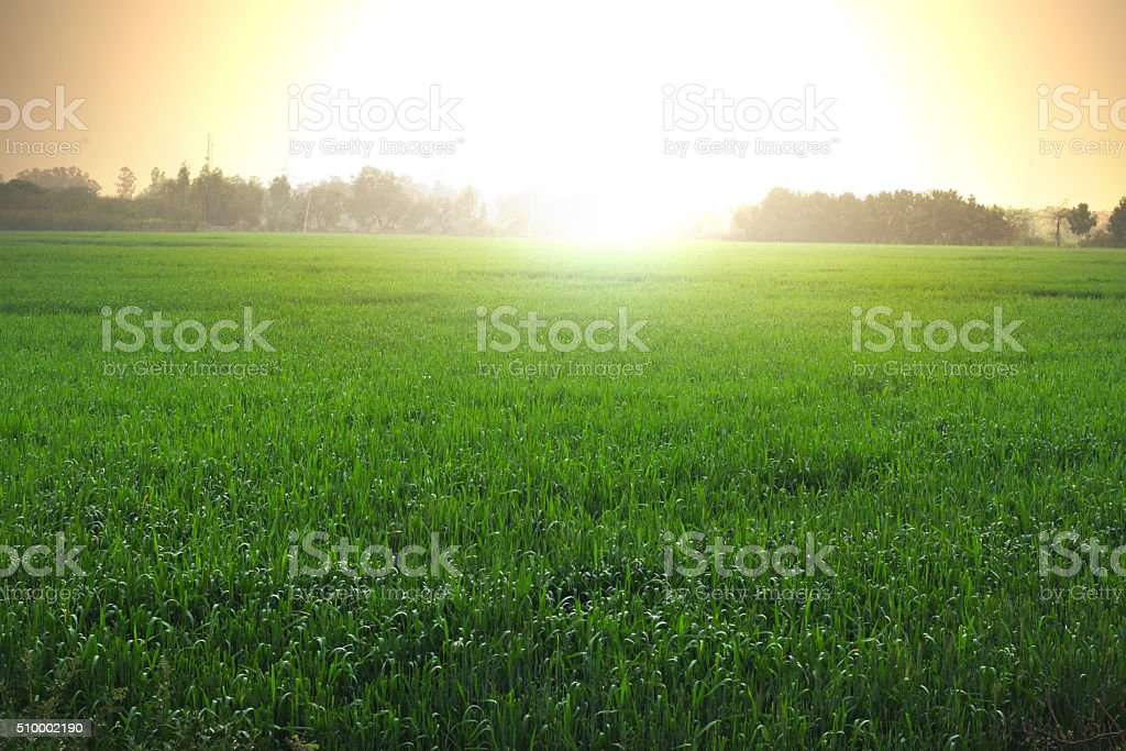 Wheat grass And Sunrise stock photo