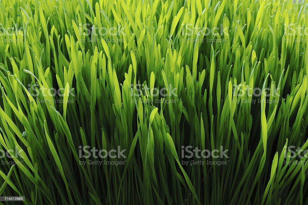 wheat grass back lit stock photo