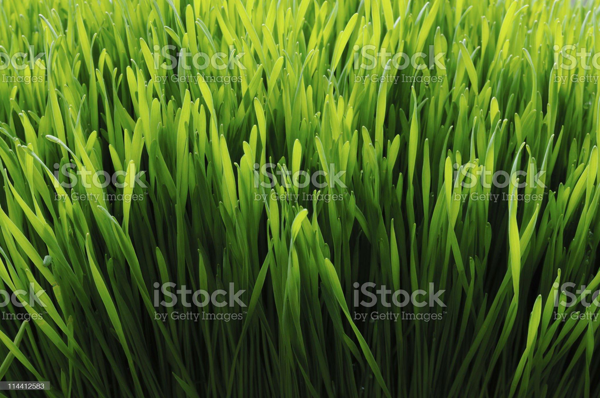wheat grass back lit royalty-free stock photo