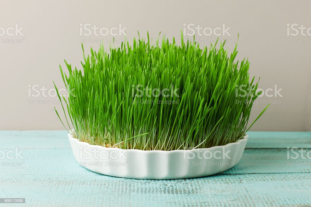 Wheat grass for juicing and healthy life. stock photo
