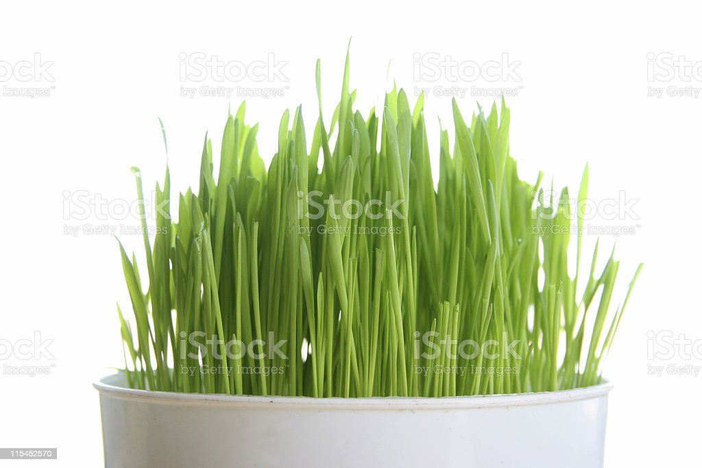 Wheat grass growing in a cup on white background stock photo