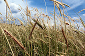 Wheat grass in the wind