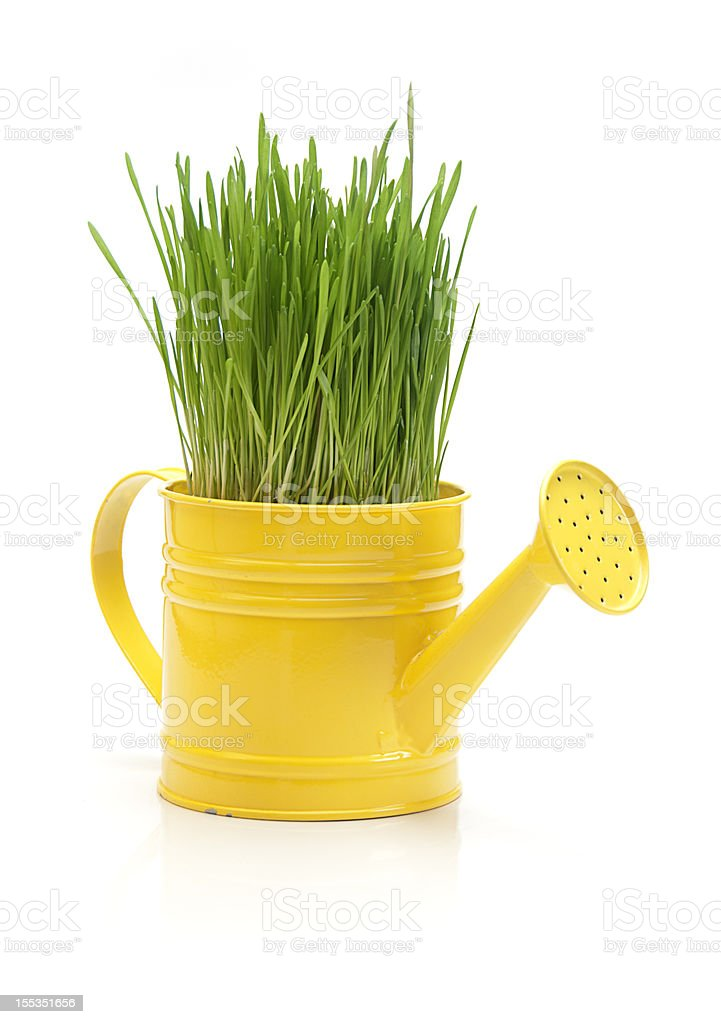 Wheat grass in watering can stock photo