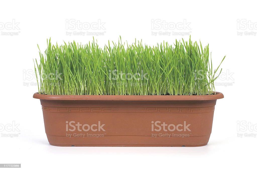 Wheat Grass on White royalty-free stock photo