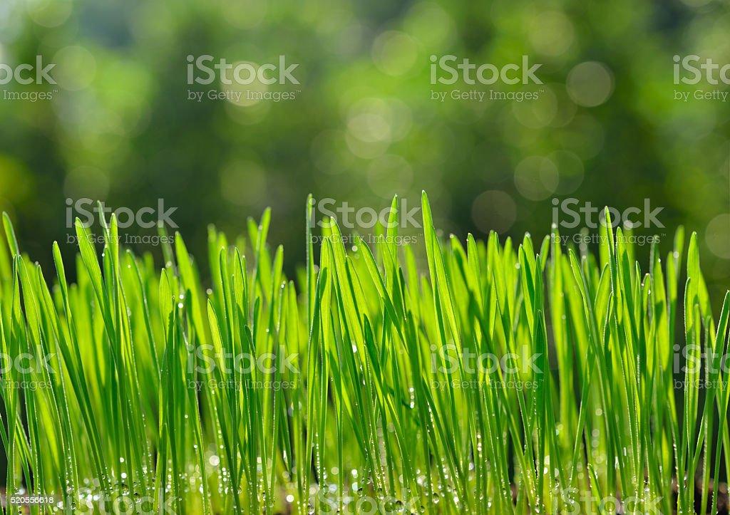 Wheat grass organic stock photo