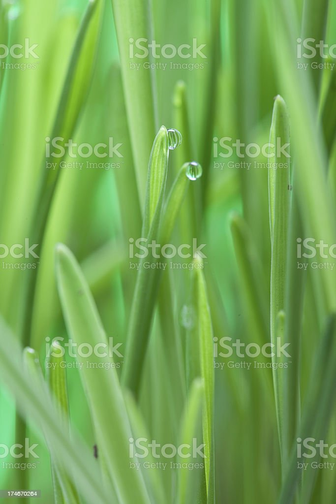 wheat grass (XXXL) royalty-free stock photo