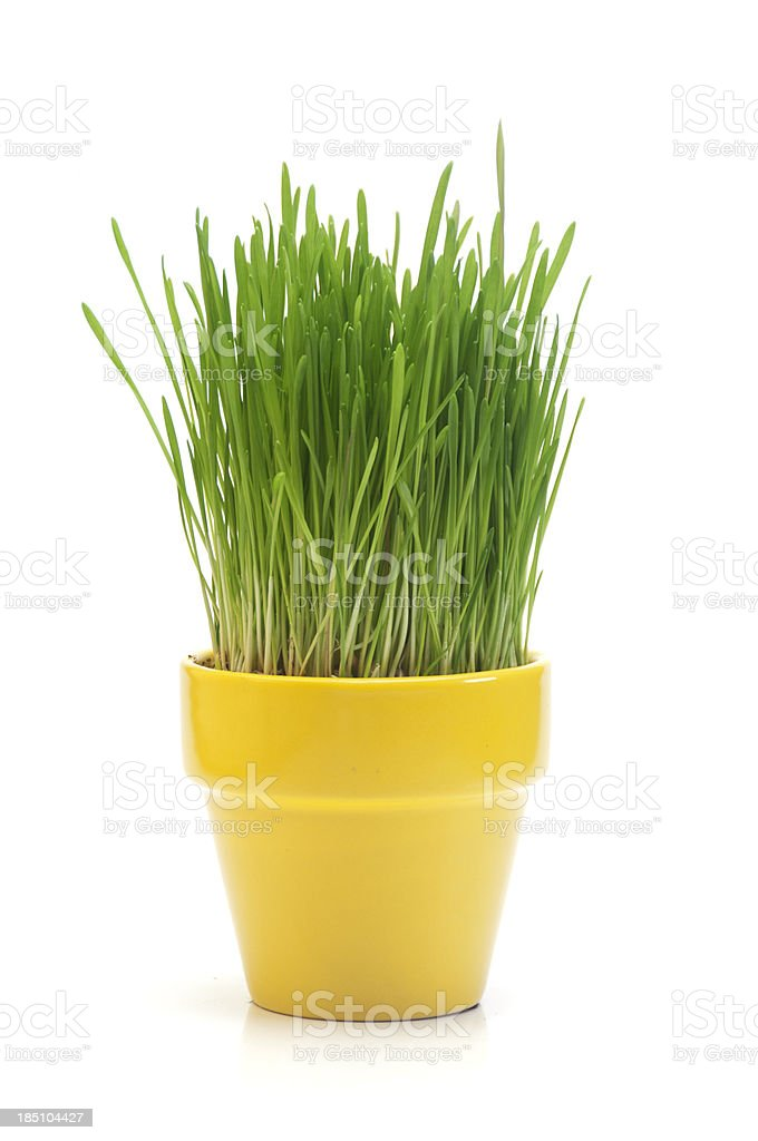 Wheat Grass royalty-free stock photo