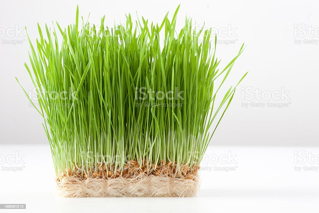 wheat grass royalty-free stock photo