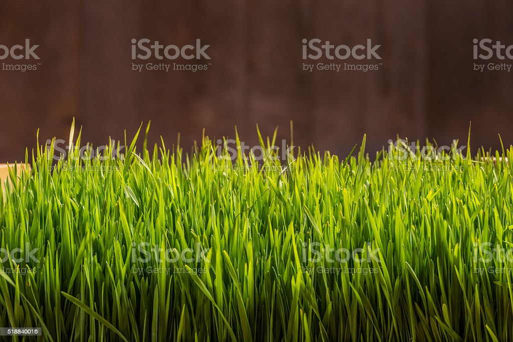 Wheat grass stock photo
