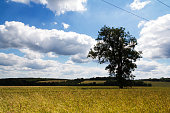 Wheat growing in a field in the Chilterns