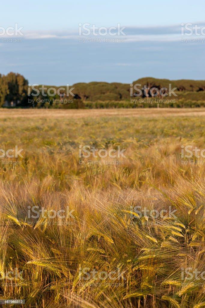 Wheat growing in green farm field stock photo
