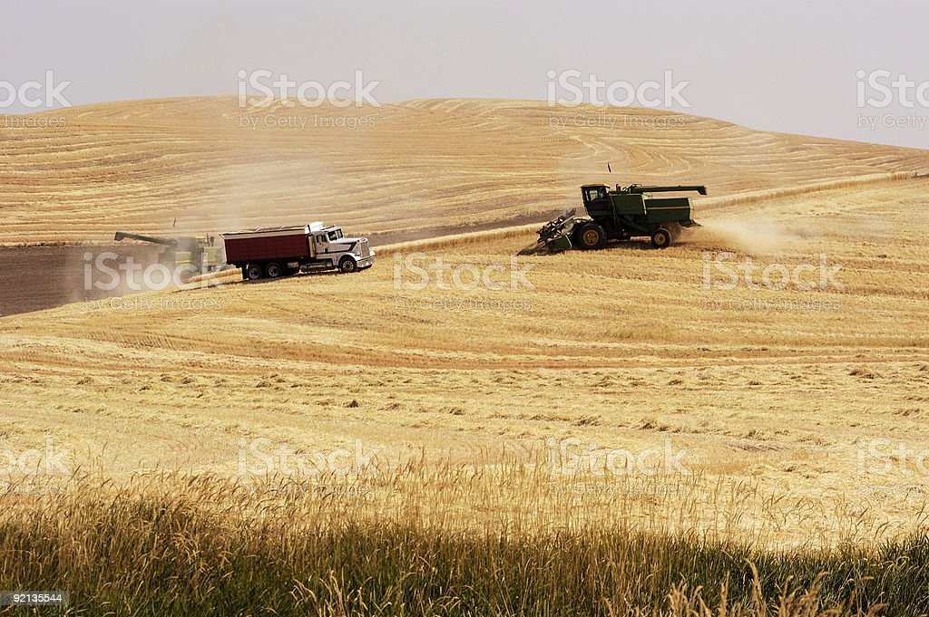 wheat harvest 6 royalty-free stock photo