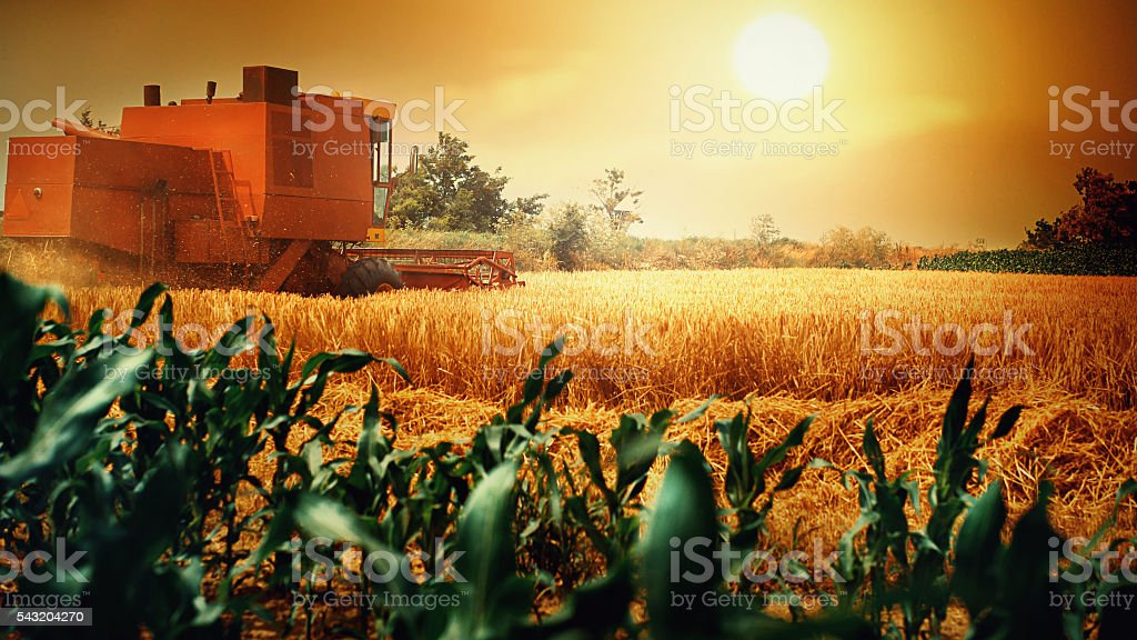Wheat harvest. stock photo