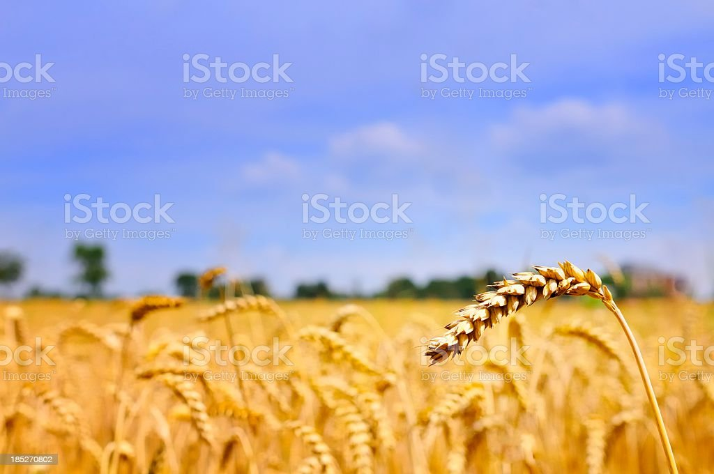 Wheat heads against blue sky stock photo