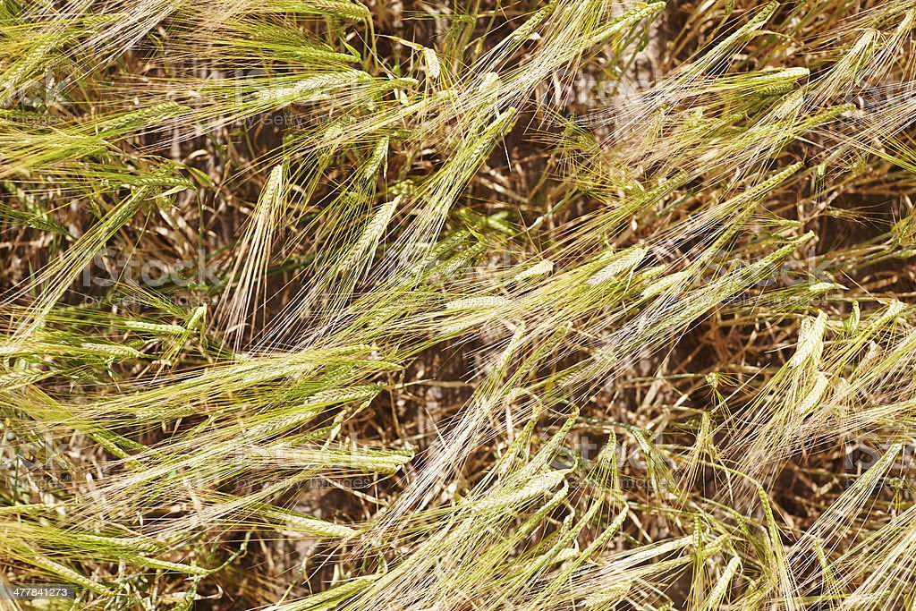 Wheat husks in field, full frame royalty-free stock photo
