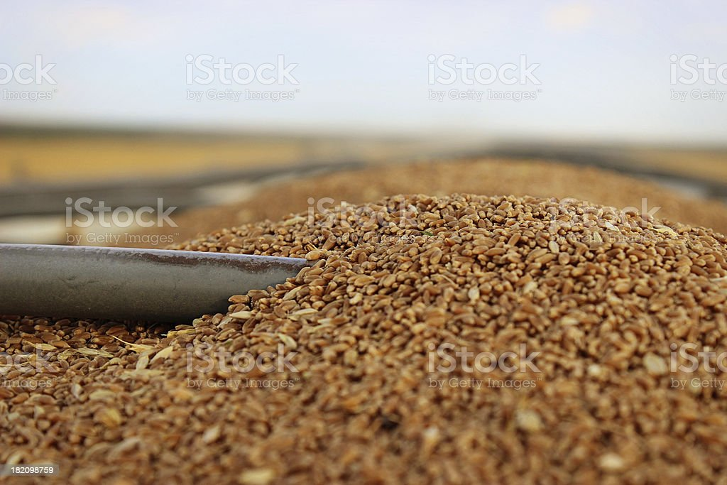 Wheat in a farm truck royalty-free stock photo