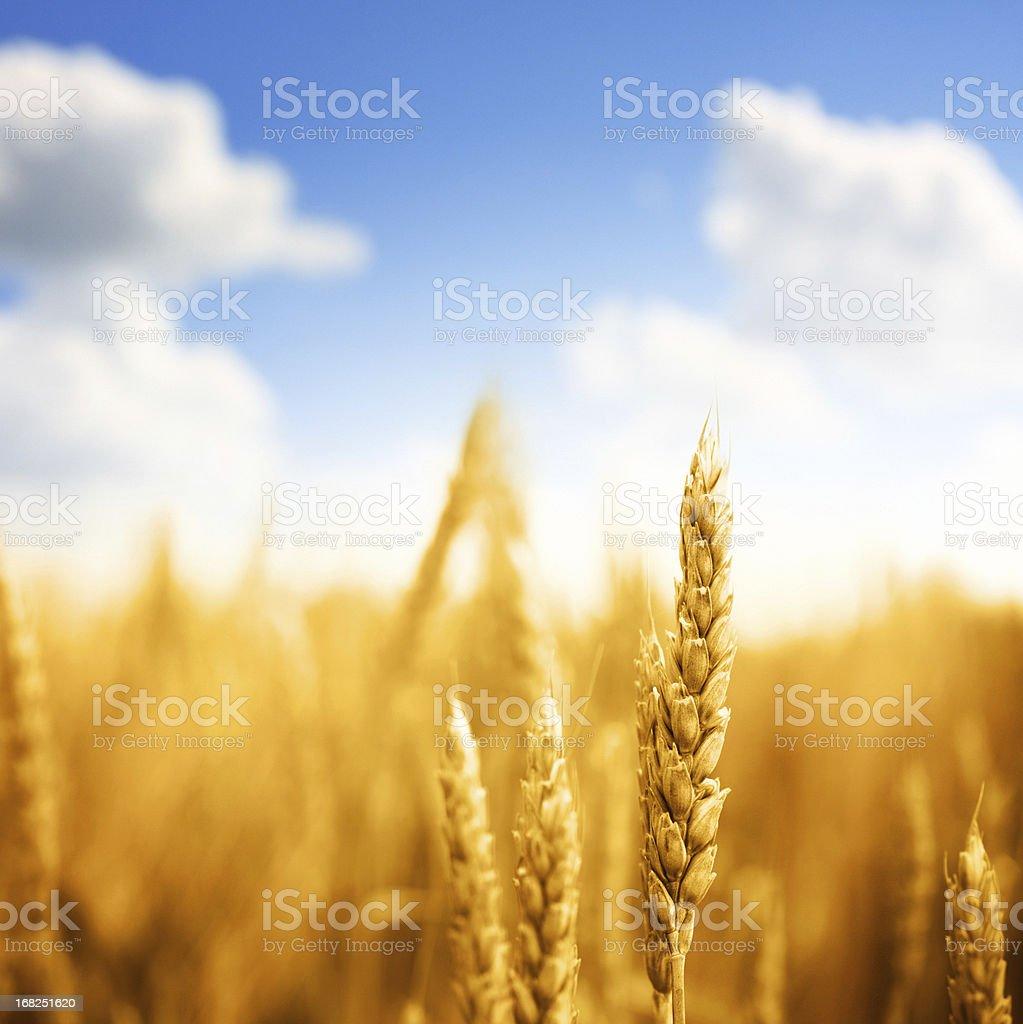 Wheat in a field,closeup. stock photo