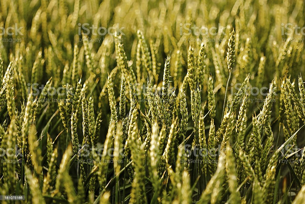 Wheat in a field,closeup royalty-free stock photo