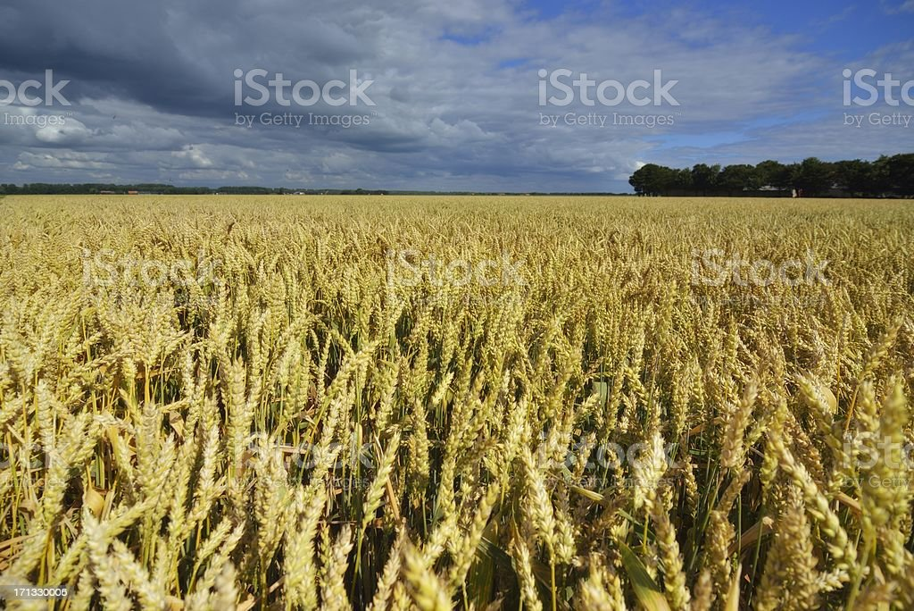 Wheat in a storm stock photo