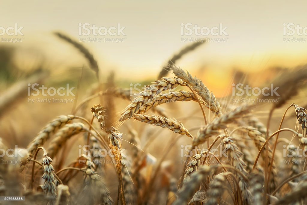 Wheat in early sunlight stock photo