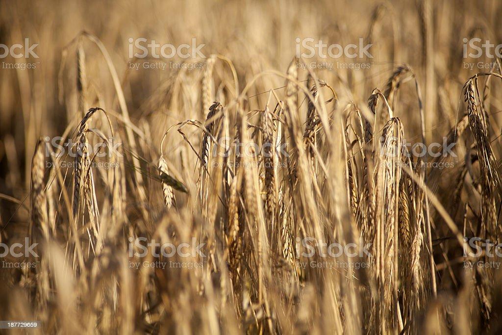 in campo di grano con le shallow dop foto stock royalty-free