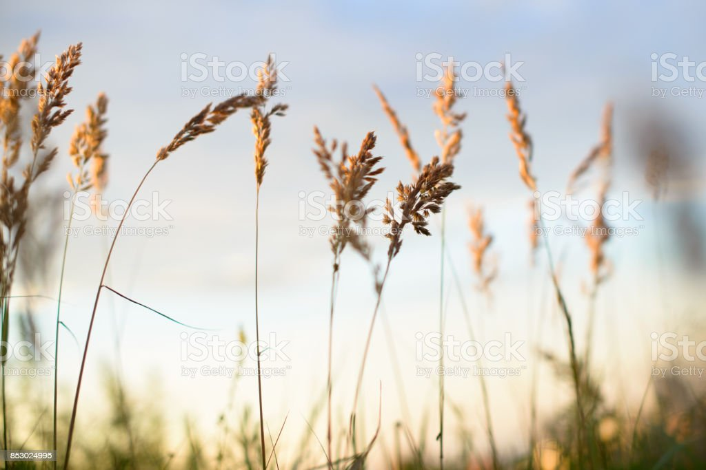 Wheat in front of evening sky blurred background stock photo