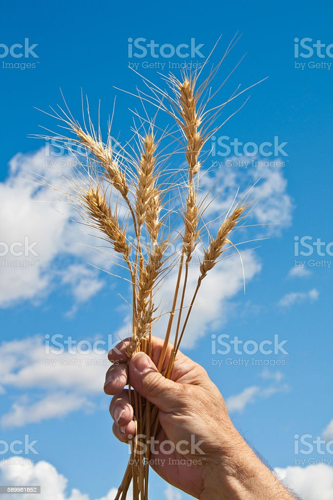 Wheat in hand  with sky background (P) stock photo