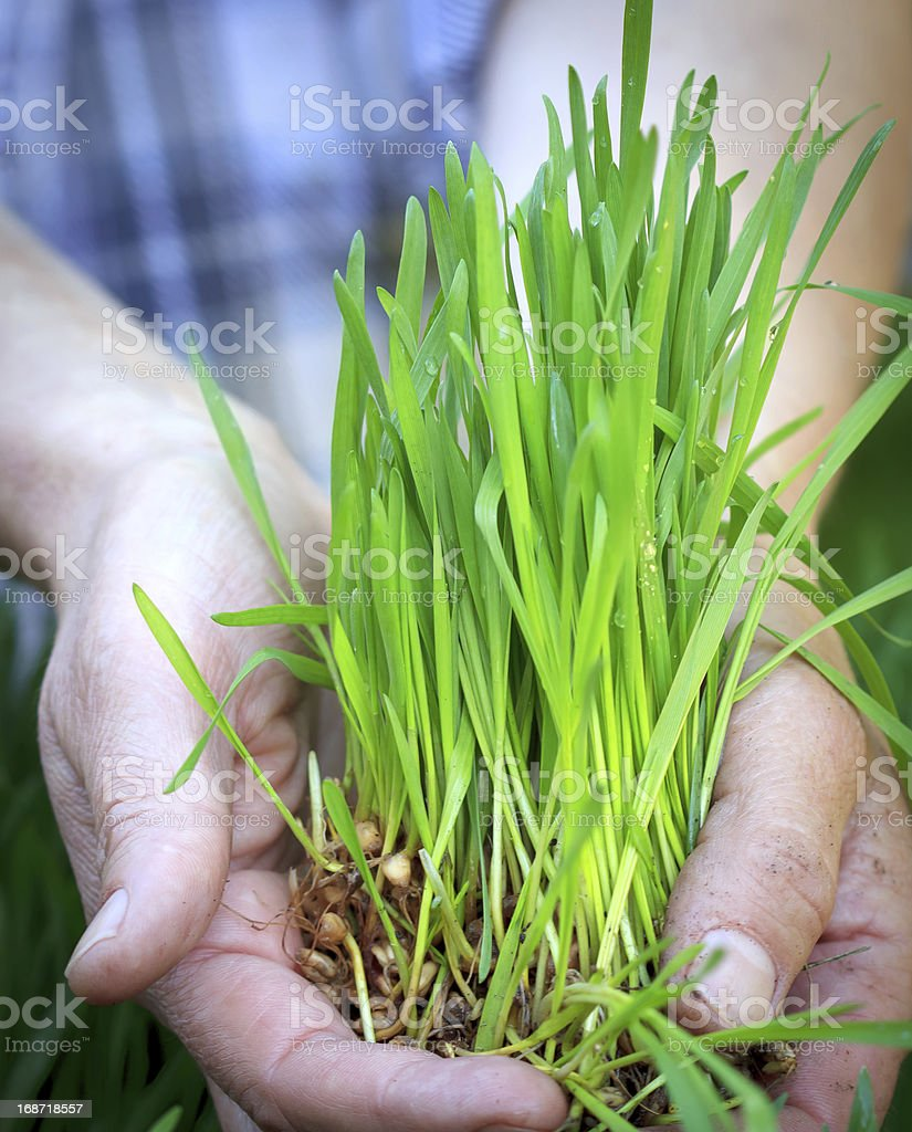 Wheat in hands royalty-free stock photo