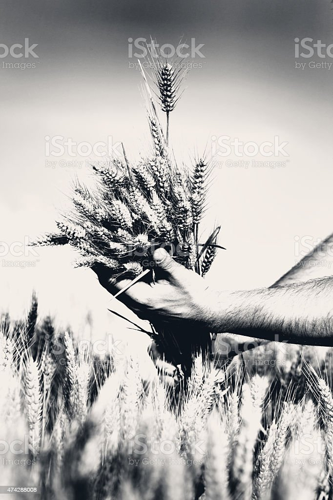Wheat in male hands stock photo