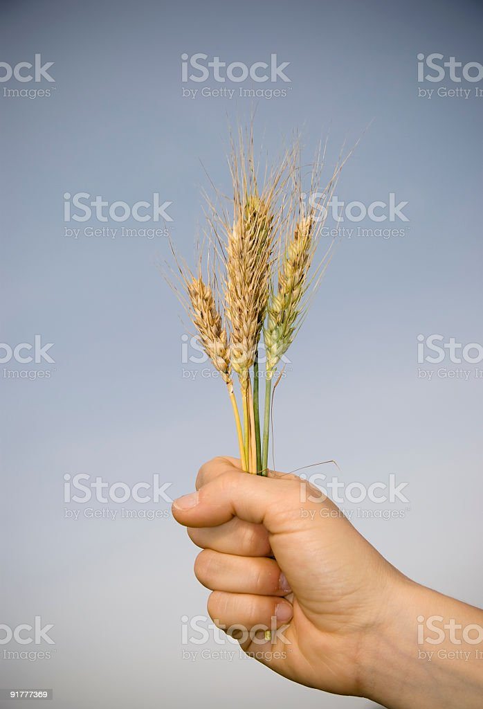 Wheat in my hand royalty-free stock photo