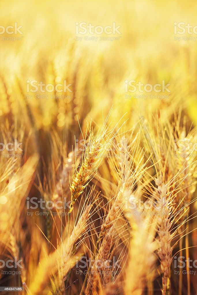 Wheat in the field royalty-free stock photo