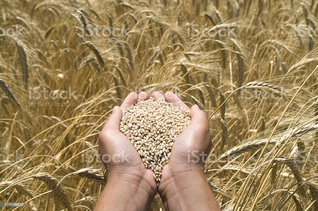 Wheat in the male palms stock photo
