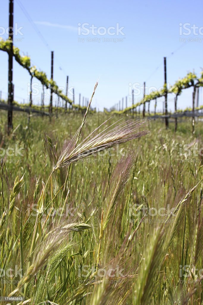 Wheat in Vineyard royalty-free stock photo