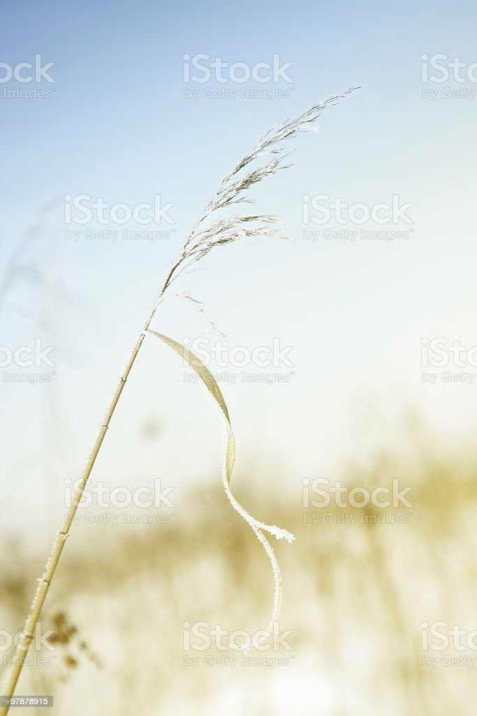 Wheat in winter royalty-free stock photo