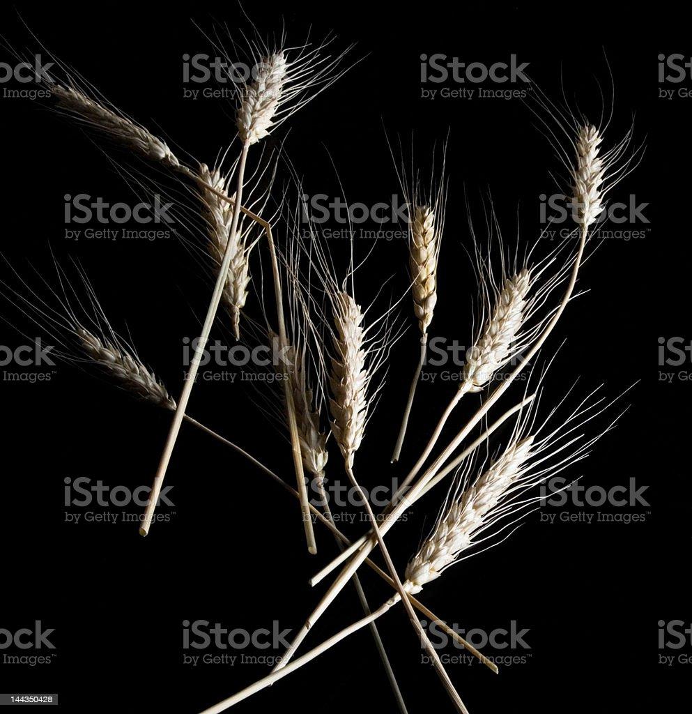 Wheat isolated on black background royalty-free stock photo