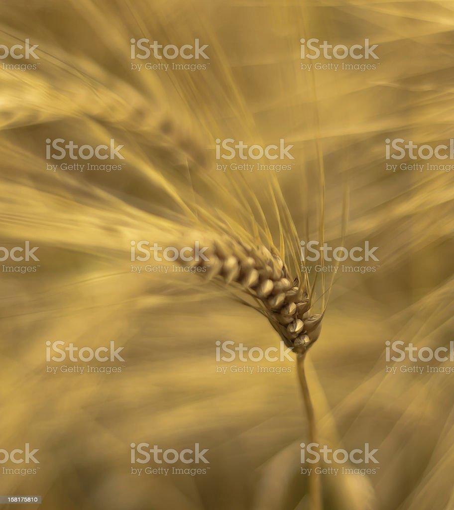 Wheat kernel stock photo