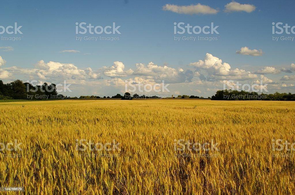 wheat landscape royalty-free stock photo