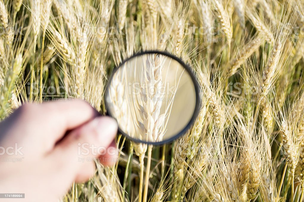 wheat magnifier royalty-free stock photo