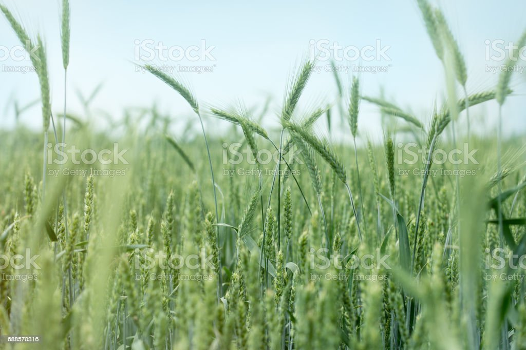 Wheat, oat, rye, barley - unripe agricultural field stock photo