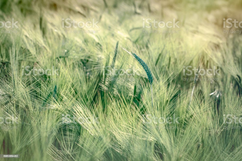 Wheat, oat, rye, barley - unripe field of agricultural crop stock photo