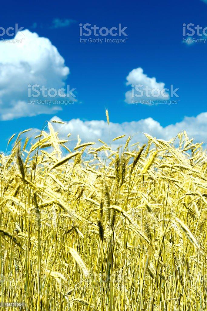 wheat on a sky stock photo