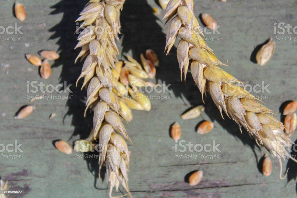 Wheat on green rustic background, macro photo stock photo