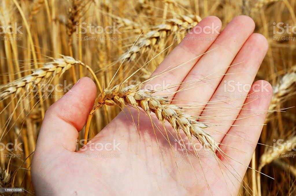 Wheat on hand stock photo